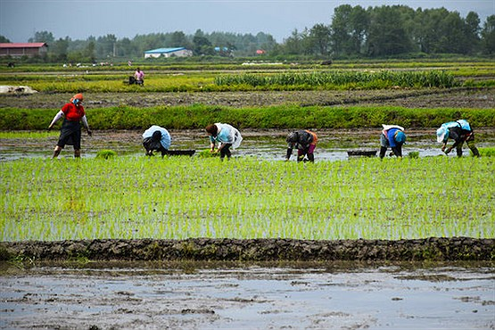 مشکل تامین سوخت برنج کاران شمالی