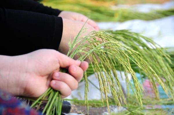عکس جوکول برنج
