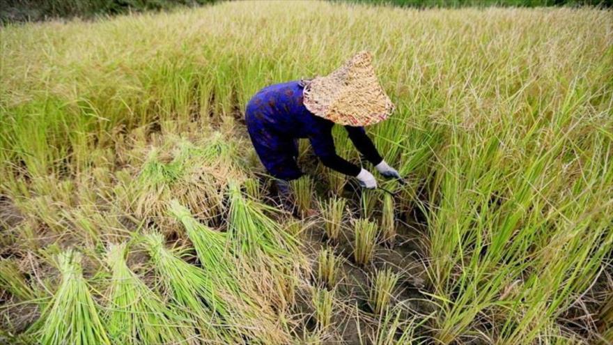 محدودیت کاشت برنج در دو استان گیلان و مازندران