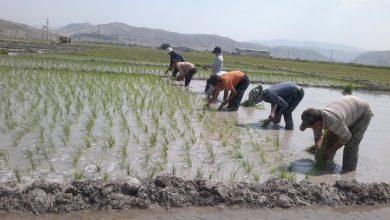 کاشت برنج در خوزستان بعد از وقوع سیل 98