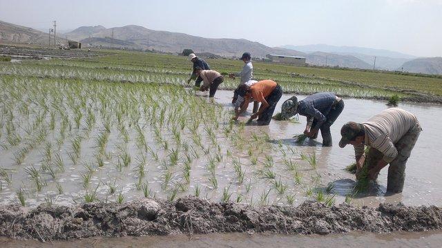 کاشت برنج در استان خوزستان بعد از وقوع سیل 98