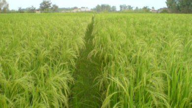 برنج گیلانه