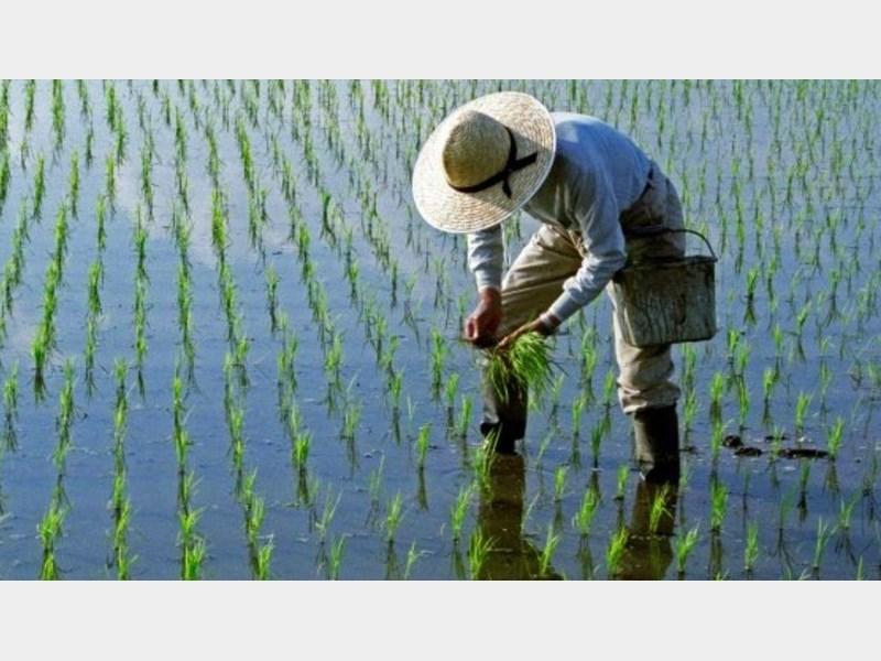 برنج کوهسار