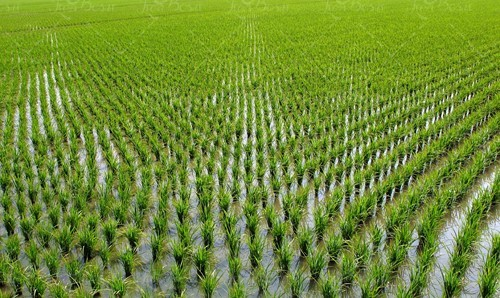برنج گوهر + قیمت