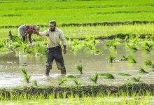 کشت دوم برنج در استان مازندران