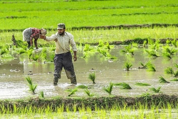 ممنوعیت کشت دوم برنج در استان مازندران