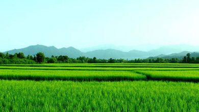 برنج رشت