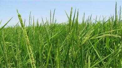 خودکفایی در تولید برنج تا دو سال آینده